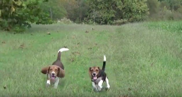 Check Out How These Pros Train Beagle Pups For Deer Hunting