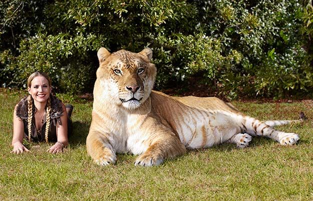 The Largest Living Cat Is Hercules An Adult Male Liger