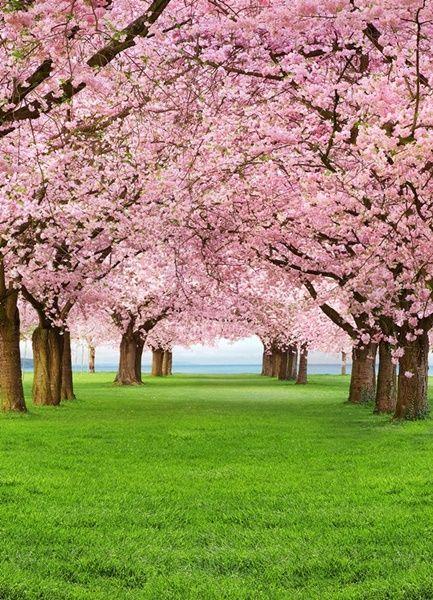 Fotomural Wizard Genius Cherry Trees 385, imagen de árboles cerezos florecidos con flores en diferentes tonos de rosa, encima de césped verde.