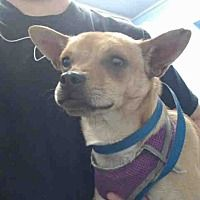Pictures of URGENT on 1/3 SAN BERNARDINO a Chihuahua for adoption in San Bernardino, CA who needs a loving home.