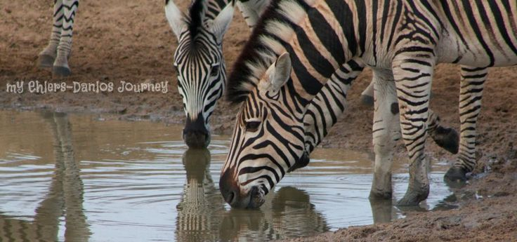 When I was diagnosed with Ehlers-Danlos Syndrome, I was pleasantly surprised to learn that our mascot animal and colour are the amazing Zebra and his stripes! I have so many zebra photos, and rarely come home from the bush without one :)