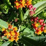 Asclepia - Plata nutricia de las mariposas Monarca
