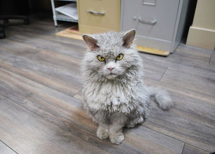 Albert the cat was named after Albert Einstein for his uncanny resemblance and matching wild gray hair. Albert is a Selkirk Rex which is known for their highly curly hair.