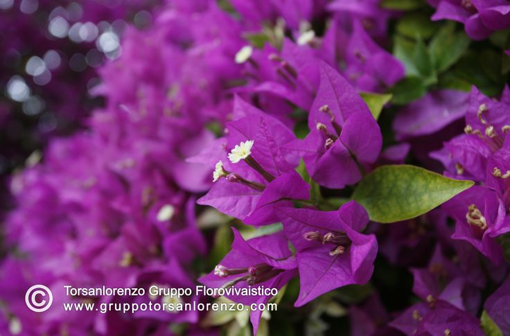Other point of vue, #Bougainvillea