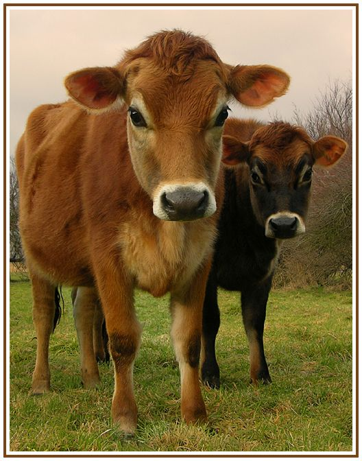 Two young jersey cows in their winter coats.<3