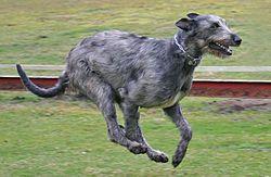 Irish Wolfhound - running