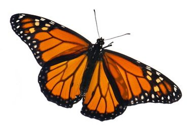 "Monarch butterfly decline: ""It would be a mistake to think planting milkweed alone will solve this problem,"" said Anurag Agrawal, Cornell University professor of ecology and evolutionary biology and senior author on the new paper published in the journal Oikos."