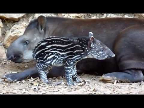 True Facts About The Tapir by Ze Frank