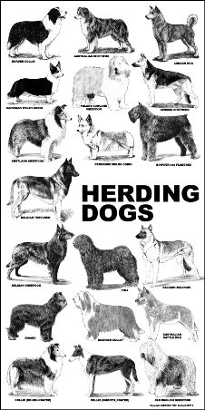 Herding Dogs. I have an obsession with herding dogs...