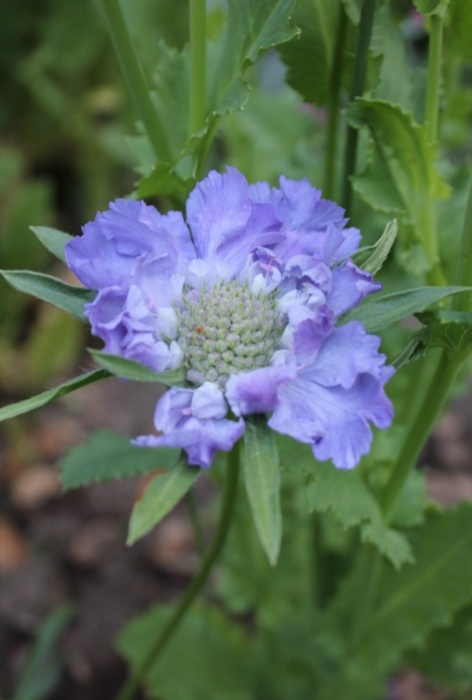 Scabiosa, I have these in my garden, love the color!