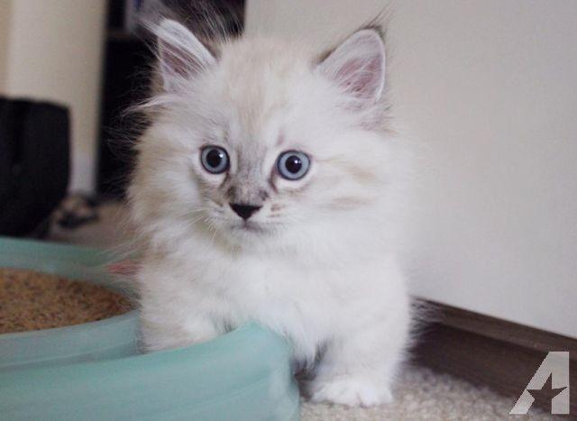 Populaire 25+ melhores ideias de Munchkin kittens for sale no Pinterest  YW35