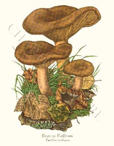 'Brown Rollrim' restored antique mushroom illustration - via Charting Nature