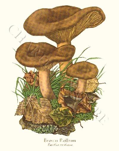 'Brown Rollrim' restored antique mushroom illustration - via Charting Nature