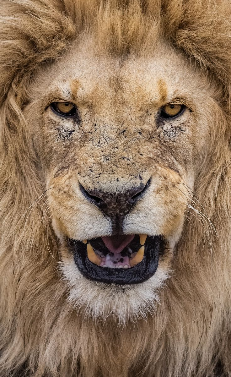 Lion portrait | The King by lucien_muller