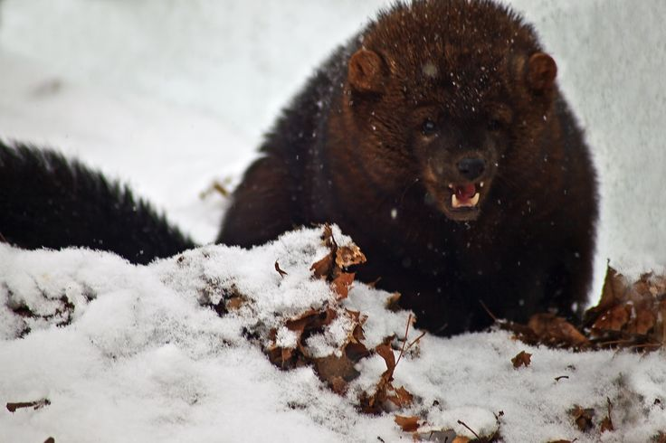 A Ferocious Wild Animal a Fisher (Martes pennanti) showing teeth in the winter snow of West Virginia.Now the mammal is being reintroduced into the Cascade Mountains of Washington state. Description from sumara-khan.blogspot.com. and Andrew Taylor.