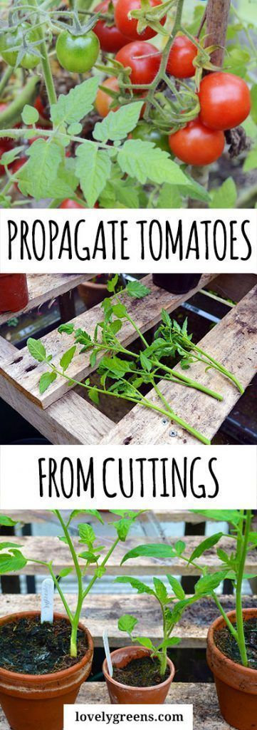 How to Propagate Tomato Plants from Cuttings Tanya at Lovely Greens // organic gardening, soap making, and natural DIYs