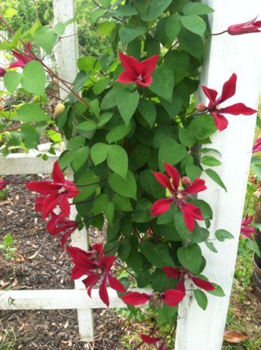 Clematis Texensis Gravetye Beauty 10 Seeds | eBay. $9