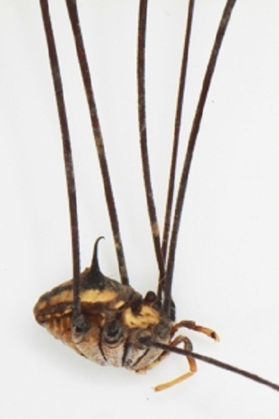 Giant Harvestman (Arachnid) Discovered in Laos Cave