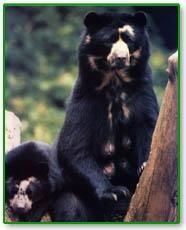 Spectacled or Andean bears are the only bear species that lives in South America. Today, spectacled bears inhabit cloud forests at elevations between 3300 to 8900 feet. Historically, spectacled bears also inhabited coastal deserts and high elevation grasslands, but the encroachment of humans into those habitats has restricted their range.