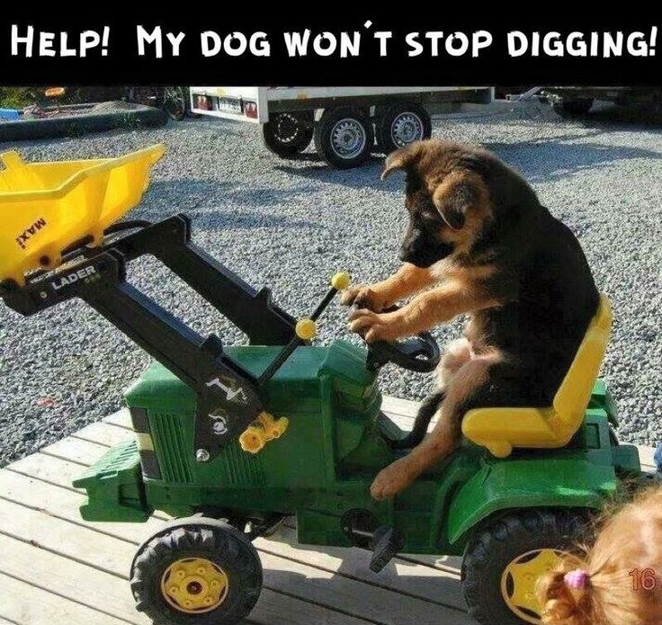 My Dog Wont Stop Licking Carpet: 120 Best Images About German Shepherd Memes On Pinterest