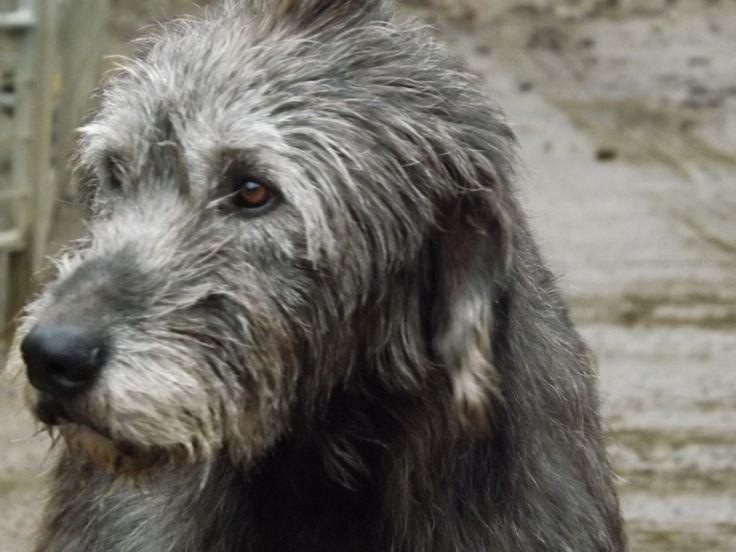 25+ best ideas about Irish wolfhound breeders on Pinterest ...