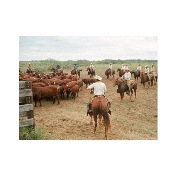 Cowboys on the King Ranch Move Santa Gertrudis Cattle from the Roundup... ❤ liked on Polyvore featuring home, home decor and cowboy home decor