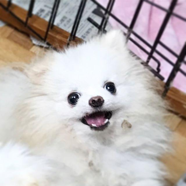 1.3kg程度しかないチビポメのガルくん。小さいくせに負けん気強くてガルガルくん。交配デビューはそろそろかな? . #whitedog #whitepomeranian #pomeranian #dog #dogstagram #dogsofinstagram #minidog #teacupdog #tinydog #博美犬 #ポメラニアン #ホワイトポメラニアン #ポメ #犬 #愛犬 #ブリーダー #ペット #可愛い #白い犬 #小型犬