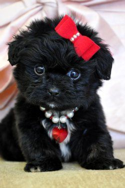 Awww...so cute! Teacup Peekapoo Puppy :) with such a nice red bow