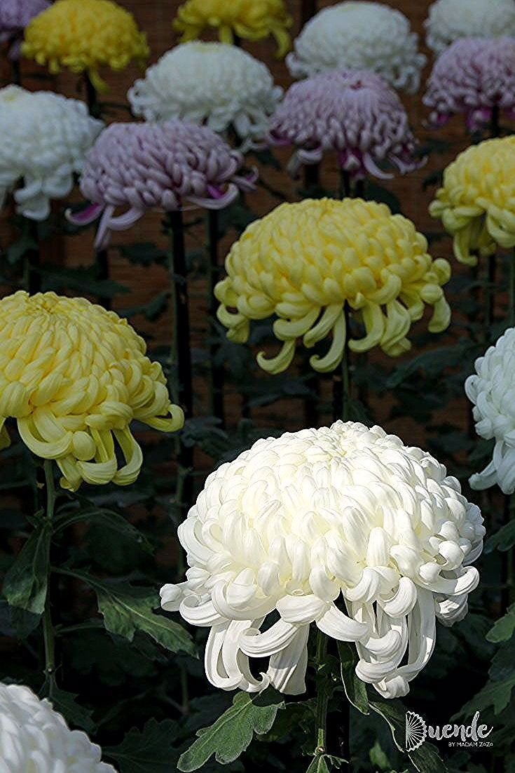 Even Samurai Grow Flowers Experience Japan S Chrysanthemums In 2020 With Images Chrysanthemum Flowers Growing Flowers