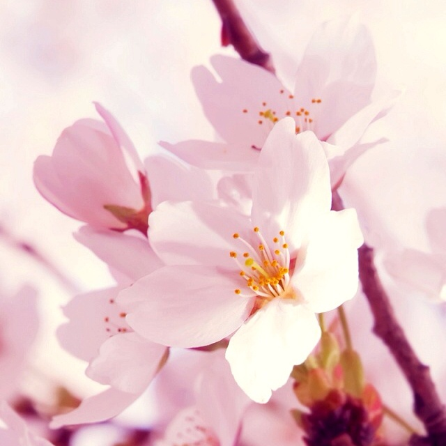 Cherry Blossoms: Pink Flowers, Pretty Pink, Wallpapers, Cherries Blossoms Trees, Sakura Japan, Creative Photography, White Cherries, Beautiful Life, Colors Flowers