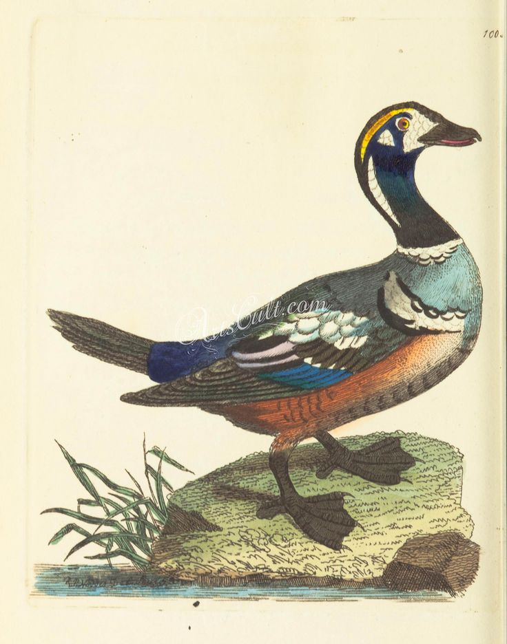 Harlequin Duck      ...