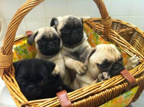 Basket of pug puppies