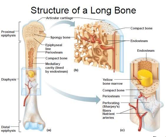 Diaphysis | Printable Flashcard on Ch 6 Bone Tissue: Free Flash cards