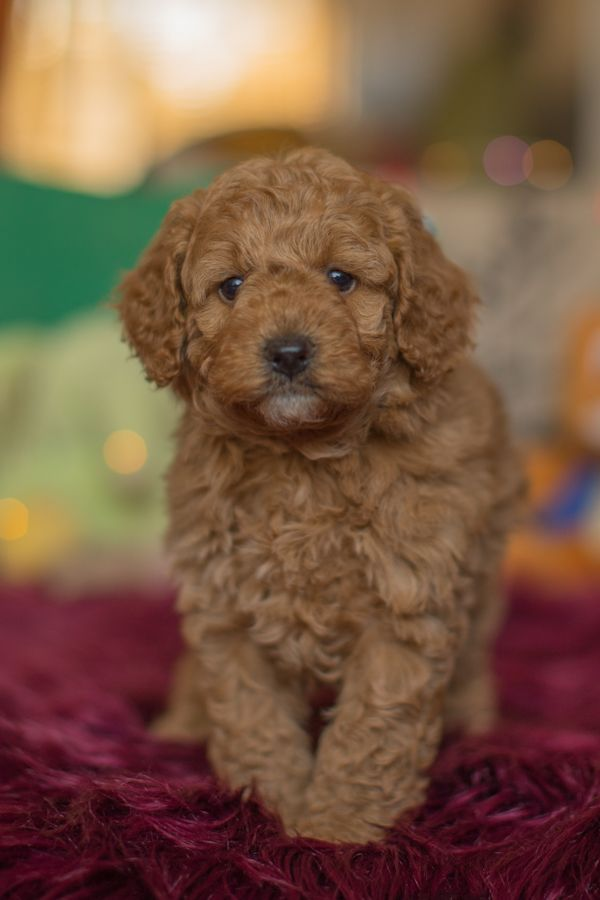 Our Poodle Mix Puppies Come In A Rainbow Of Colours Including