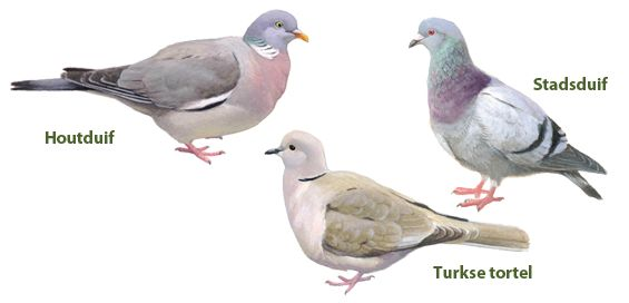 Vogelbescherming Nederland   Herkent u de vogel?