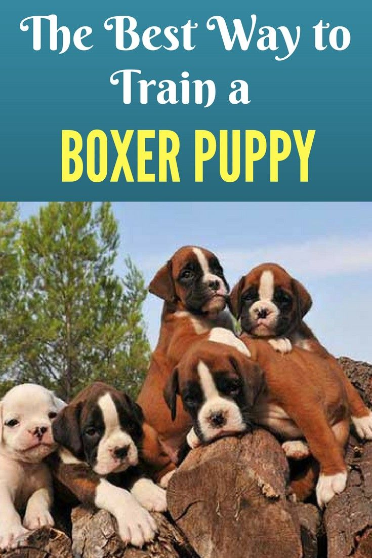 The Best Way To Train A Boxer Puppy Ultimate Guide Boxer