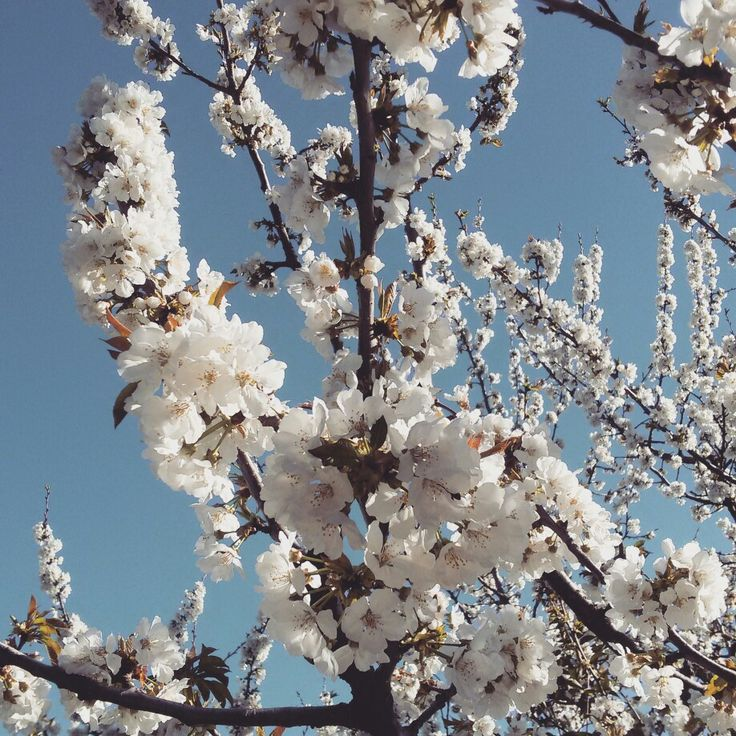 Cherry Blossom at Covilhã, Portugal