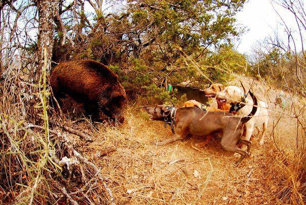 Способы охоты на кабана  Для начинающих охотников кратко изложим основные способы охоты на кабана и его привычки. Кабан животное достаточно крупное: длина его тела достигает 1,8 м, а вес взрослого кабана может доходить до 150-200 кг. Кабан обладает хорошим обонянием и слухом, зрение развито слабо. Кабан предпочитает держаться богатых водой болотистых местностей, как лесистых, так и заросших камышом, кустарником, предпочитает кормиться в одних и тех же местах и ходить одними и теми же…