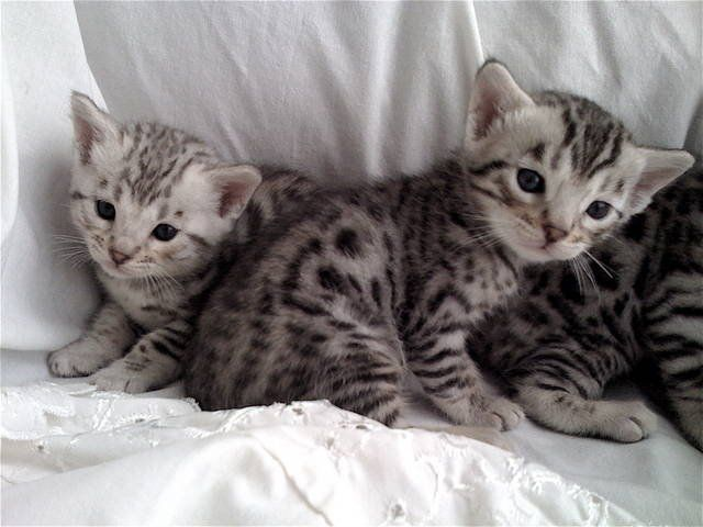 Quality Silver Bengal Kittens For Sale Adoption From Davie Florida Broward Adpost Com Classifieds Usa 58387 Bengal Kitten Bengal Cat Kittens Bengal Cat