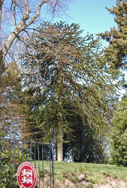 Monkey Puzzle Tree, Off Winchelsea Road