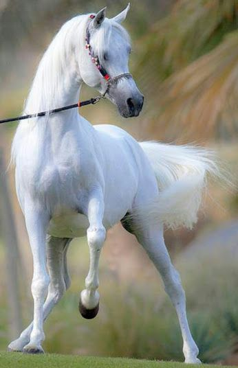 Bright white Arabian Grey horse. So clean!