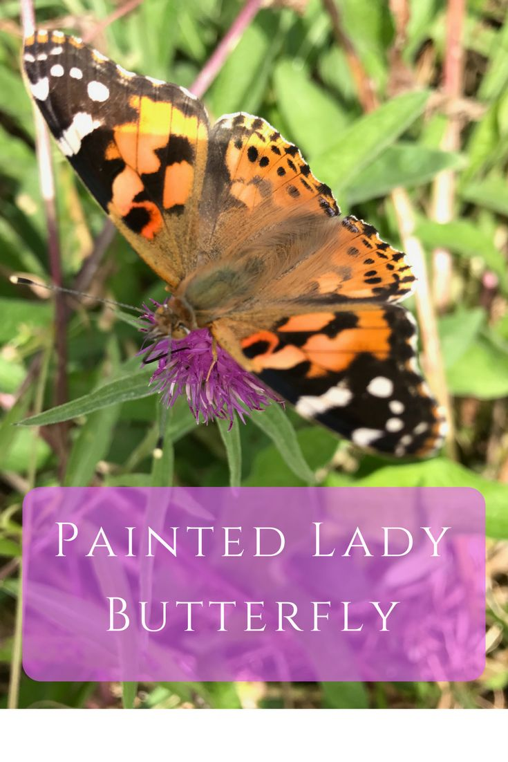 The first painted lady butterfly of the summer has arrived at our wildflower meadow here in South Shropshire
