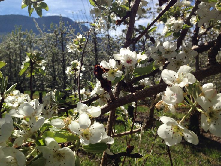 Pear blossoms on Koelfontein farm, Ceres valley, South Africa. (Photo A. Jacobsen)