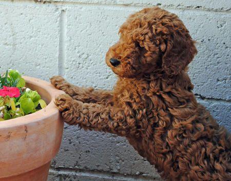 Cocker/Poodle mix....he looks like a teddy bear!!!!