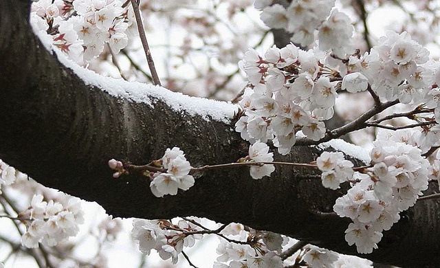 Snowy cherry blossoms in DC