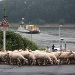Motorists use the Rhine ferry after closure of the Rhine bridge of the A1 motorway near Cologne
