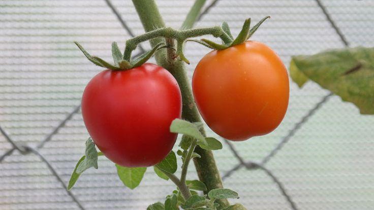 Tomat dikategorikan sebagai sayuran, meskipun mempunyai struktur buah. Tanaman ini bisa tumbuh baik didataran rendah maupun tinggi mulai dari 0-1500 meter dpl, tergantung dari varietasnya. Tanaman tomat menghendaki tanah yang subur dan gembur, dengan pH sekitar 5,5-7.