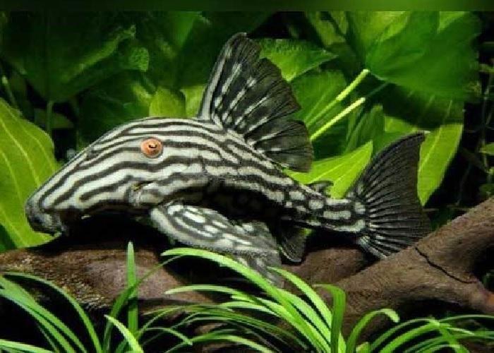 L190 Royal Pleco Panaque Nigrolineatus Oranda Goldfish Aquarium Fish Fish