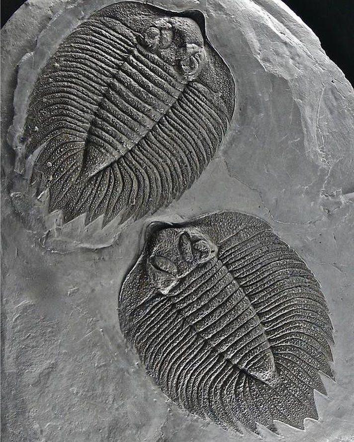 Trilobite - Arctinurus boltoni (Bigsby, 1825); Lower Silurian; Rochester Shale Formation, Caleb's Quarry, Middleport, New York, U.S.A.