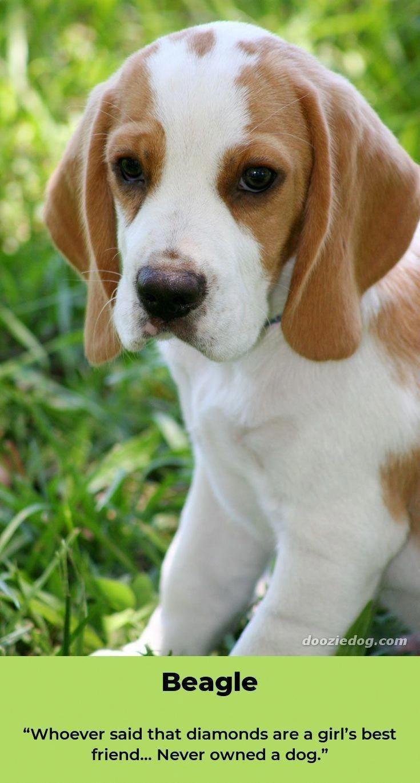 Beagle Friendly And Curious Beagle Puppy Beagle Dog Dogs